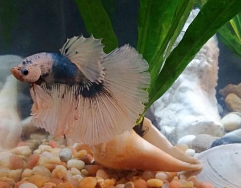 Betta Fish Change Colors Sundrip Art For Life